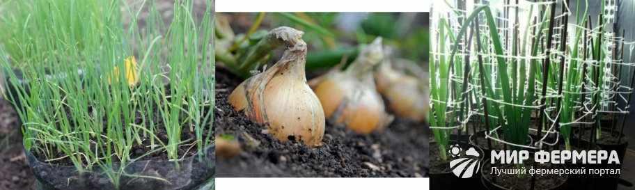 Условия выращивания рассады лука