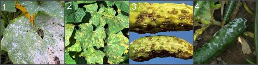 Болезни тыквенных растений