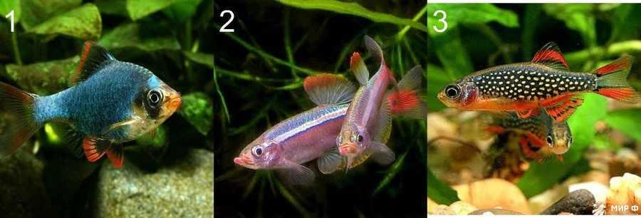 Карповые аквариумные рыбки