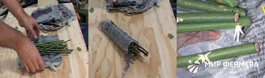 Укоренение роз методом буррито