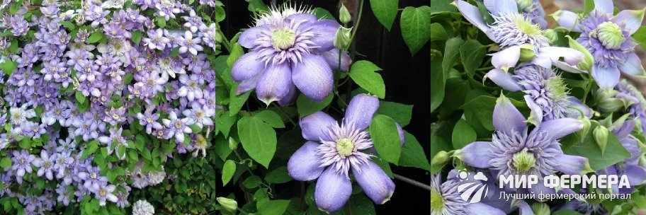 Клематис Блю Лайт цветение