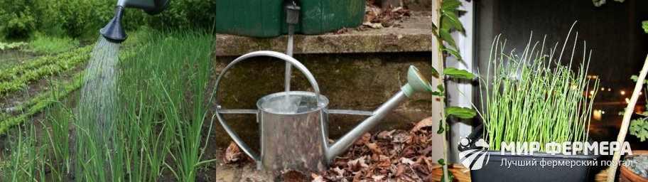 Как часто можно поливать лук