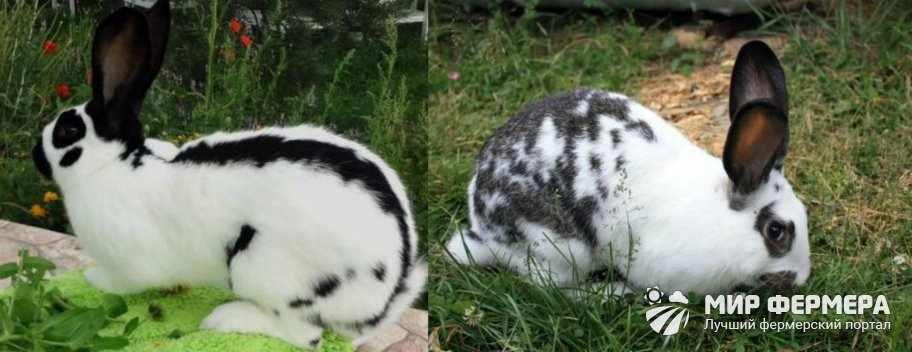 Порода кроликов Бабочка плюсы и минусы