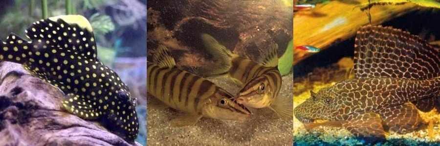 Вьюновые рыбки совместимость