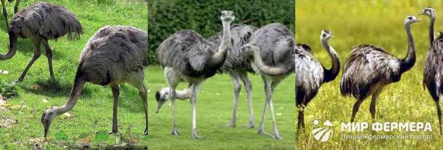 Разведение страусов нанду
