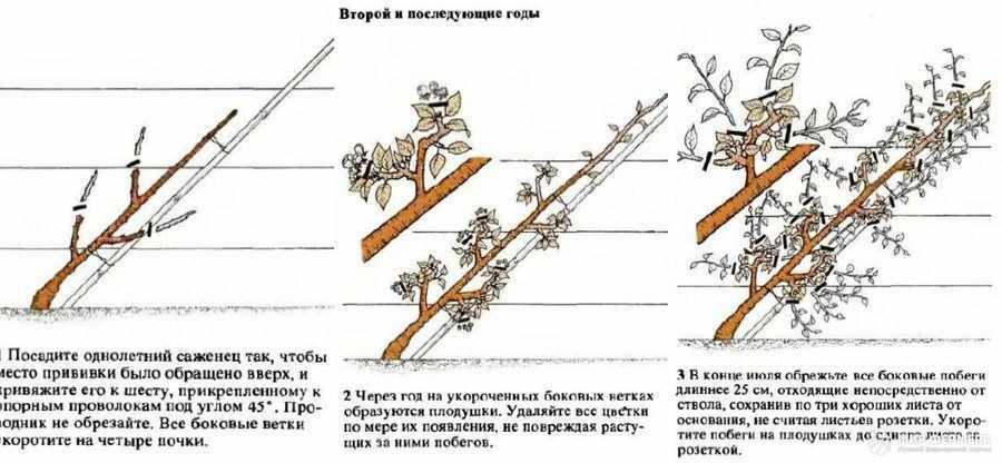 Крона кордон обрезка
