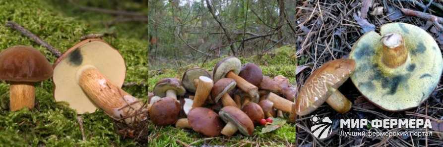 Польский гриб фото