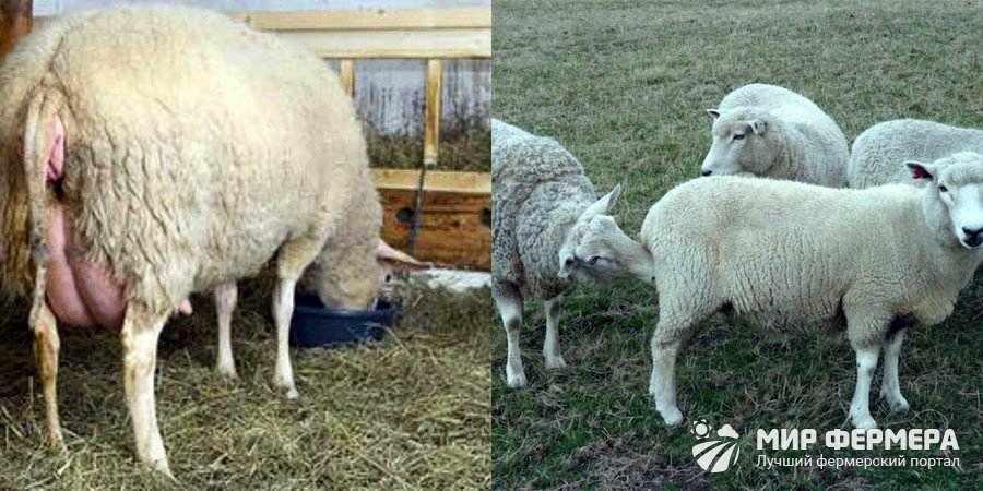 Признаки охоты у овец