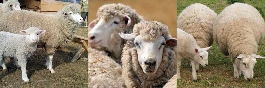 Кавказская порода овец