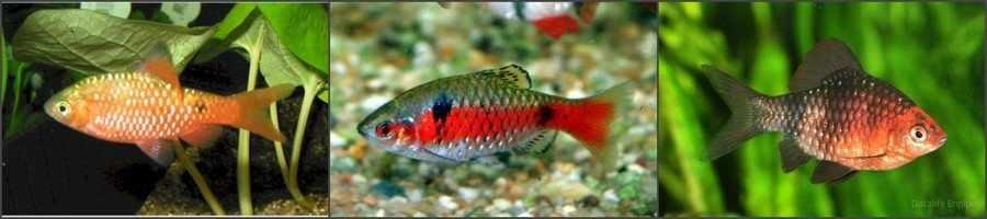 Барбусы совместимость с аквариумными рыбками