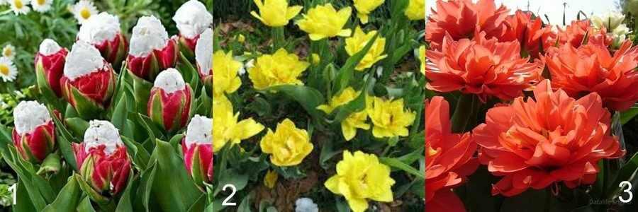 Махровые ранние тюльпаны