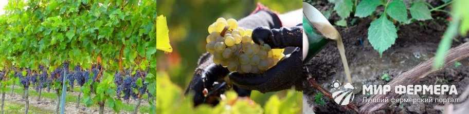 Зачем удобрять виноград