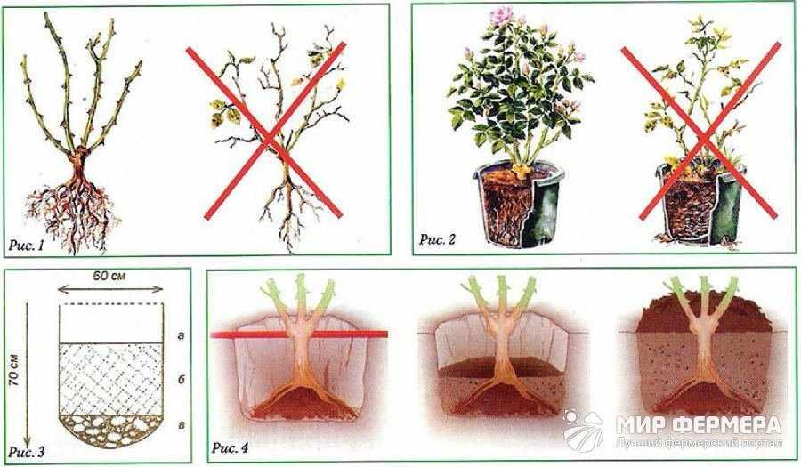 Размножение и выращивание плетистой розы