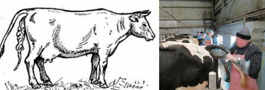 Задержание последа у коровы после отела