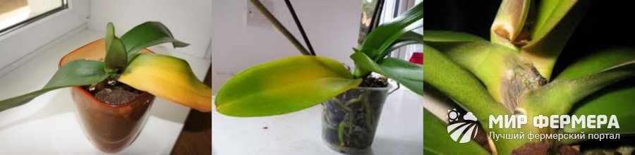 Чрезмерный полив орхидеи
