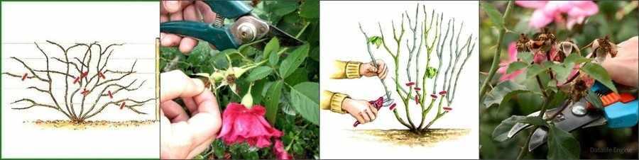 Плетистая роза обрезка