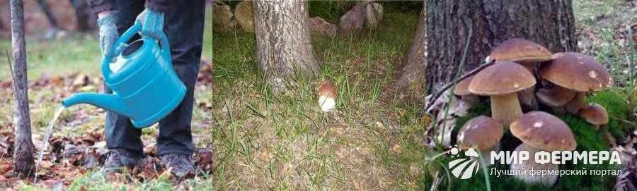 Выращивание белых грибов на деревьях