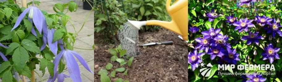 Как поливать клематис