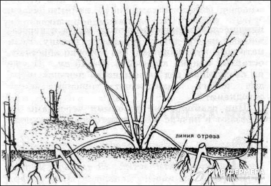 Размножение сирени корневой порослью