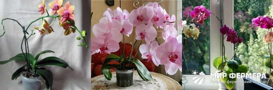 Как цветет фаленопсис