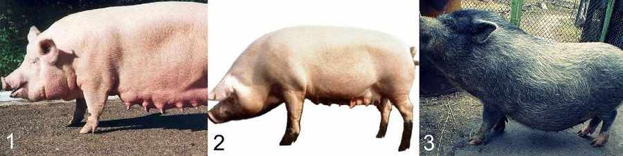 Универсальные породы свиней