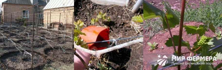 Схема подкормки винограда