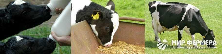 Как кормить холмогорских скот