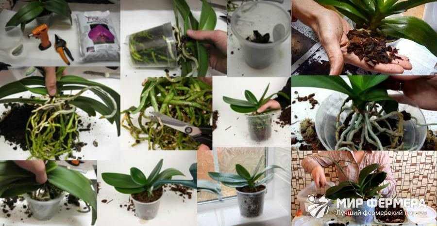 Орхидея Фаленопсис пересадка