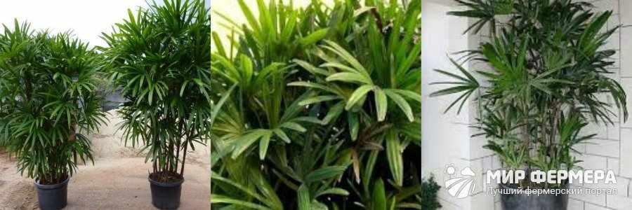 Рапис пальма выращивание дома