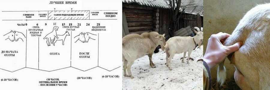 Охота у коз