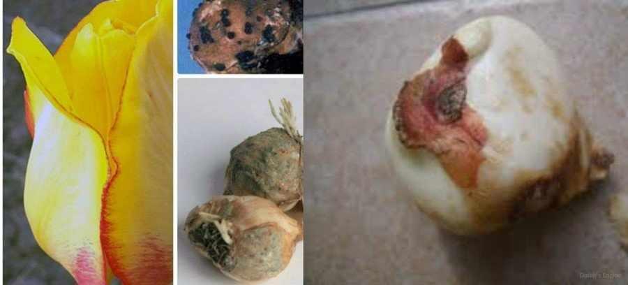Ботритиозная гниль тюльпанов