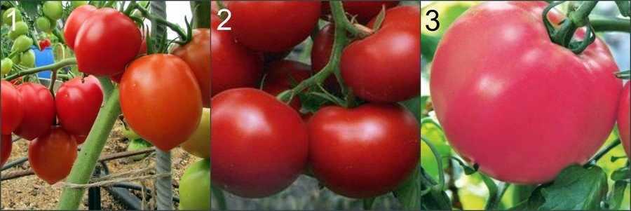 Устойчивые к фитофторозу помидоры