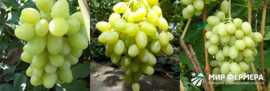 Виноград Ландыш фото