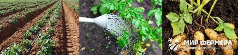 Как поливать картошку