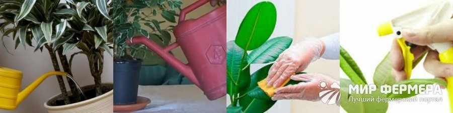 Как поливать фикус