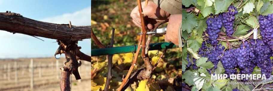 Сроки обрезки винограда осенью