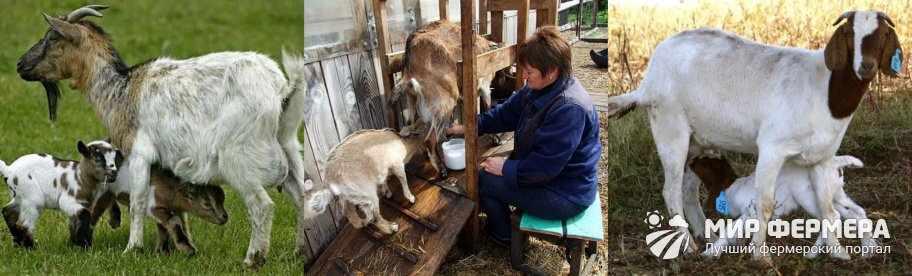 Как доить козу после окота