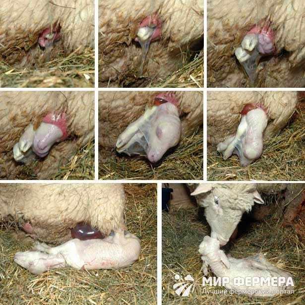 Проведение окота у овец