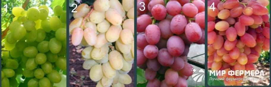 Кинельский виноград сорта