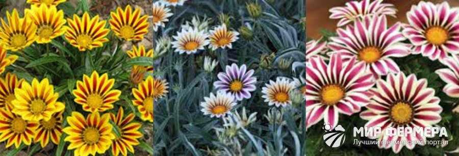Цветок газания фото и описание