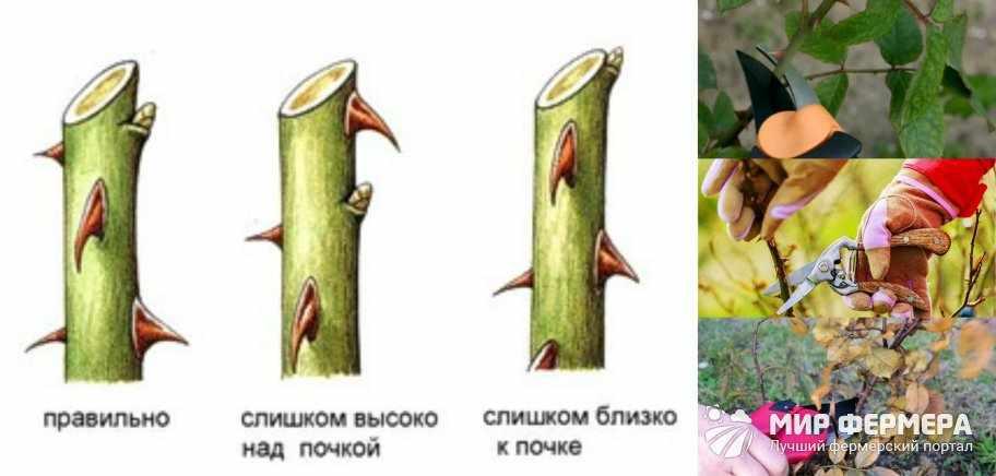 Как обрезать розу на зиму