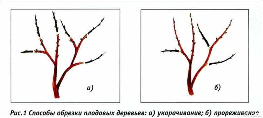 Способы обрезки плодовых деревьев