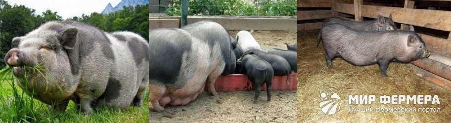 Содержание вьетнамских свиней