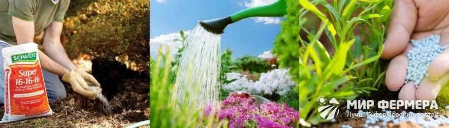 Как поливать кларкию