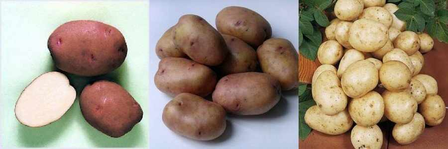 Сорт картофеля Зарница