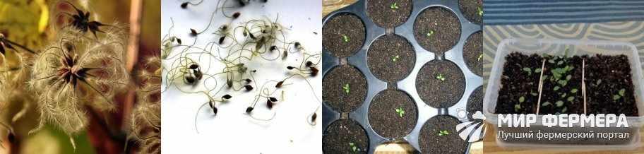 Выращивание клематиса в домашних условиях