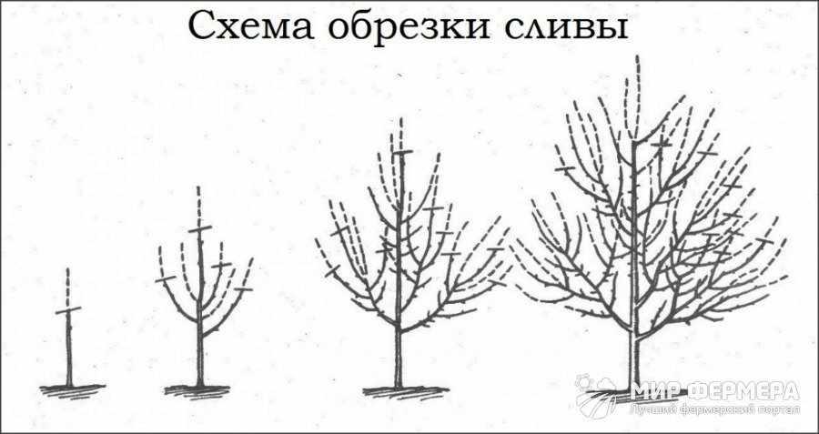 Схема обрезки сливы