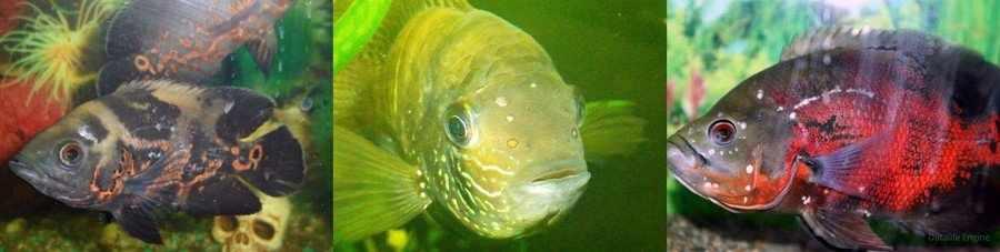 Гексамитоз у аквариумных рыб