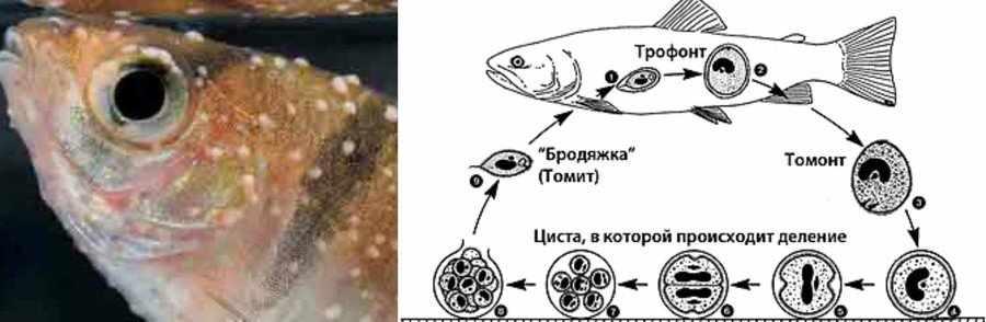 Ихтиофтириоз у рыб лечение