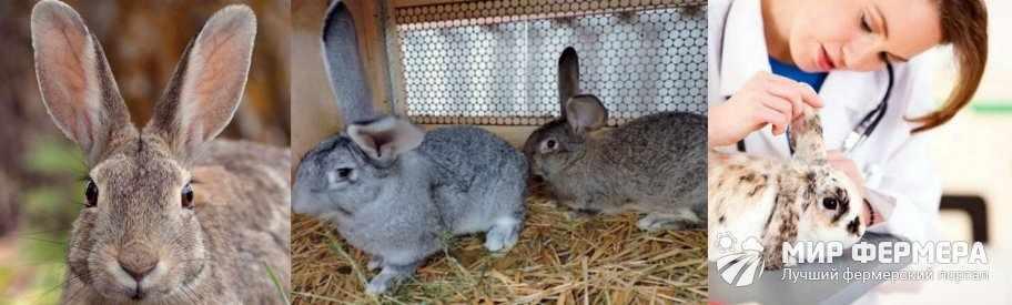 Профилактика ушного клеща у кроликов